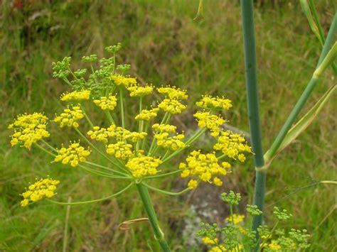 tanaman adas fennel adas foeniculum vulgare mill herbalandhealthy