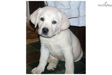 snow white labrador retriever puppy  sale  memphis