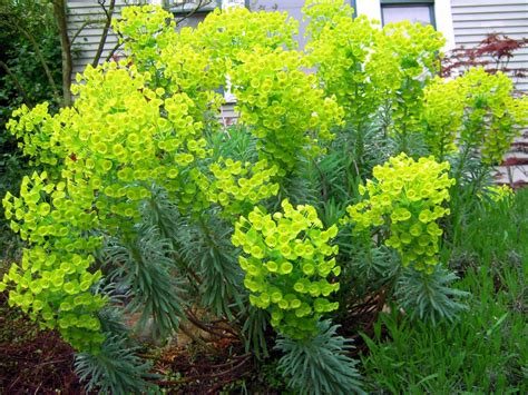 euphorbia pictures hortus urbanus april blooms