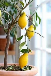 Avocado Pflanze Richtig Schneiden : zitronenbaum pflege so z chten sie richtig einen ~ Lizthompson.info Haus und Dekorationen