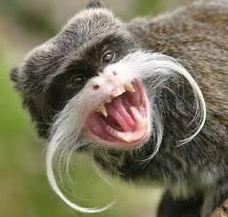 Emperor Tamarin Monkey South America