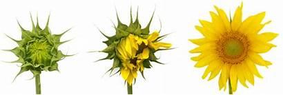 Stages Flower Cycle Understanding Magazine Sunflower Garden