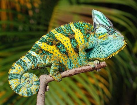 chameleon care veiled chameleon facts habitat diet baby pet care pictures