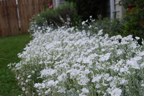 Summer Snow by Seeds For Sale Flower Seeds For Sale