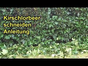 Wann Darf Ich Hecke Schneiden : kirschlorbeer richtig schneiden anleitung lorbeerkirsche hecke zur ckschneiden youtube ~ Watch28wear.com Haus und Dekorationen