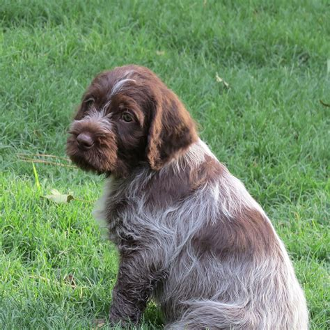 wirehaired pointing griffon puppies funny puppy dog