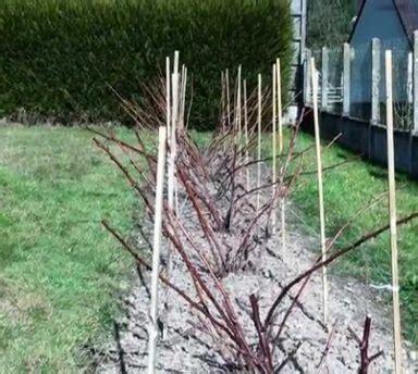 planter des framboisiers en pot comment planter des framboisiers