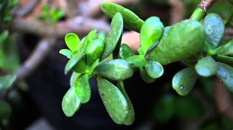 jade plant  great  maintenance plant