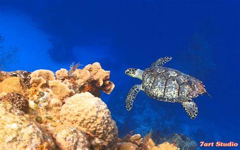 Sea Turtle Animated Wallpaper - sea turtle animated wallpaper sijulilass s
