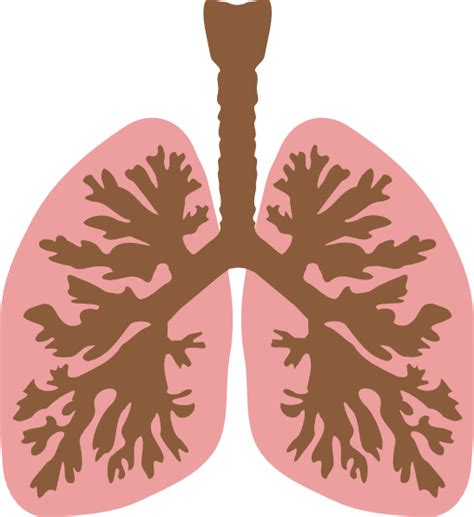 Lungs Clipart Lungs And Bronchus Clip At Clker Vector Clip