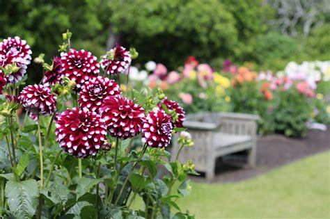 in the garden dahlia garden collections mcbg inc 2018 fort bragg