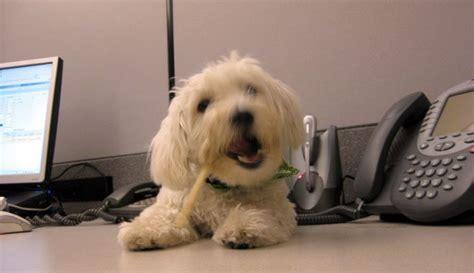 animali in ufficio cani e gatti in ufficio aumentano la produttivit 224 e la