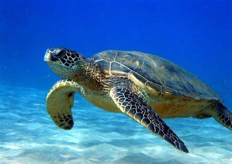High Definition Animal Wallpapers - animal sea turtle high definition wallpaper resolution sea