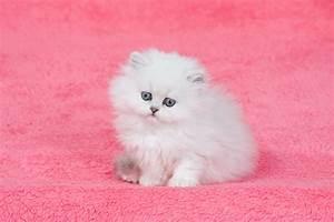 Teacup Persian Kittens | www.pixshark.com - Images ...