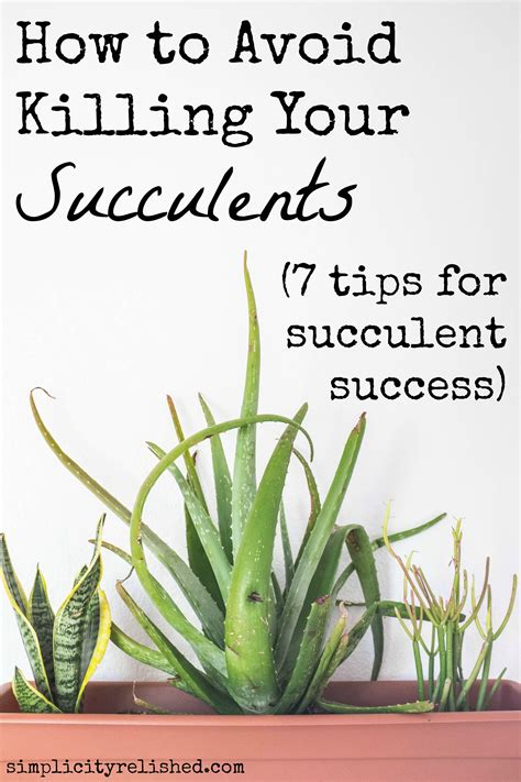 how often do you water succulents how to avoid killing your succulents 7 tips