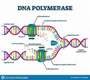 Dna Polymerase Enzyme Syntheses Labeled Educational Vector