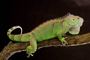 Lizard species profile page