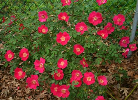 easy care roses 131 best images about quot shrub roses polyanthas grandifloras easy care roses quot on pinterest aunt