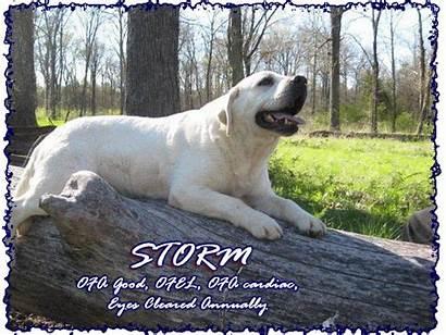 Lab Stud Breeders Storm Progeny Storms Please