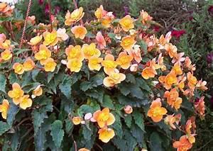 begonia cultivars richard galle orange knollenbegonie With französischer balkon mit garten begonien