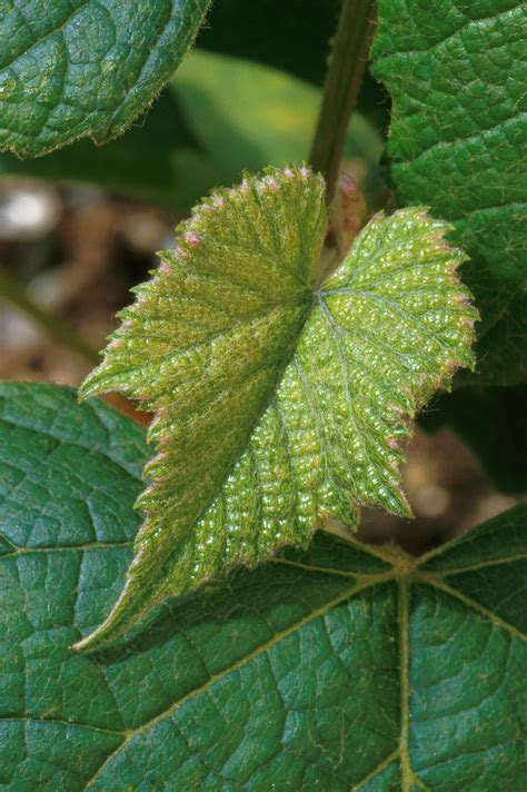 Leaves   Free Stock Photo   Leaves of a Concord grape ...