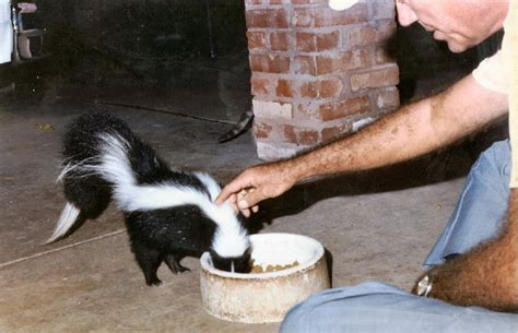 skunks as pets how to deal with skunks infobarrel