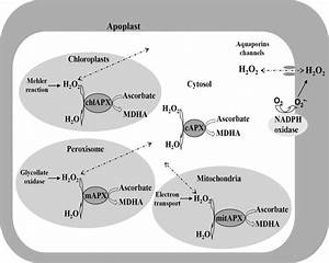 Apx Enzymes And The Elimination Of Ros Excess In Different