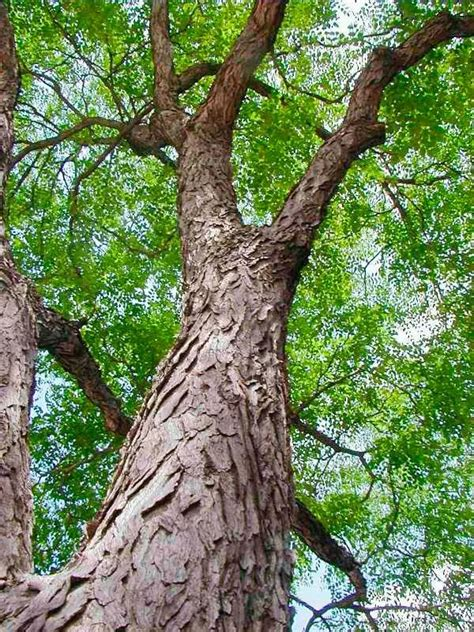It is resistant to air pollution and drought and makes an excellent addition to a rain garden or in a landscape to provide shade. 20 Tough Trees for Midwest Lawns in 2020 | White bark ...