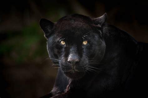 all black jaguar black jaguar all rights reserved 169 justin lo justin