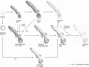 Current Knowledge Of The Thermolabile Hermaphrodite