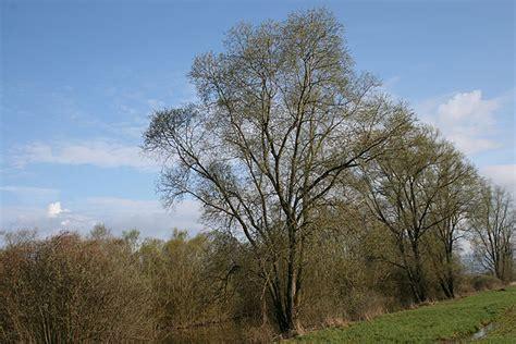 Les saules - Woodtli + Leuba SA - Soins aux arbres