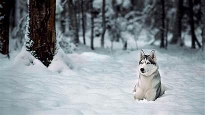 Winter Snow Dog Animals Siberian Wallpapers Husky