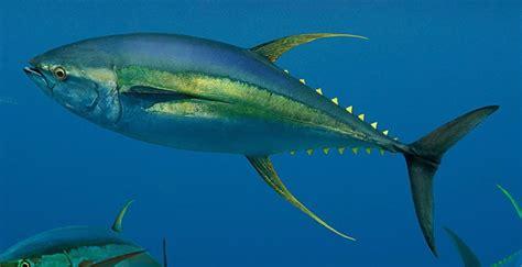 tuna fish yellowfin bluefin nutrition calories
