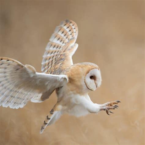 barn owl surveys phase  ii surveys   uk ecosupport ecosupport