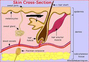 Integumentary System Skin Parts