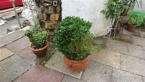 Buchsbaum Befall Raupen : buchsbaum befall in n rtingen stuttgart vom buchsbaumz nsler rue25 notizen ~ Watch28wear.com Haus und Dekorationen