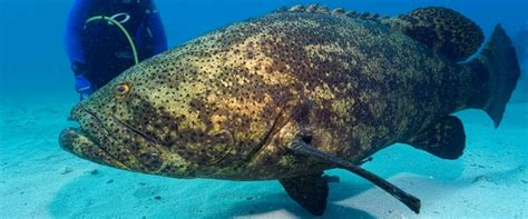 grouper goliath giant fish shark endangered species key diver largo massive jewfish atlantic ocean types