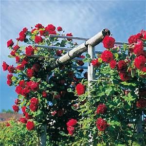 Support Pour Rosier Grimpant : achat rosiers grimpants messire delbard vente de nos ~ Premium-room.com Idées de Décoration