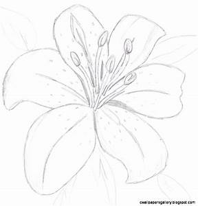 Tiger Lily Flower Drawing | Wallpapers Gallery