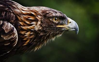 Eagle Golden Wallpapers