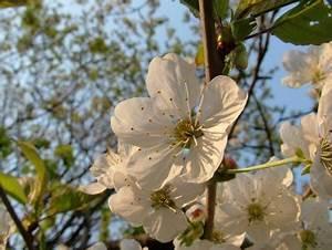 Wasserläufe Für Den Garten : kirschbaum sorten f r den eigenen garten s sauerkirschen ~ Michelbontemps.com Haus und Dekorationen