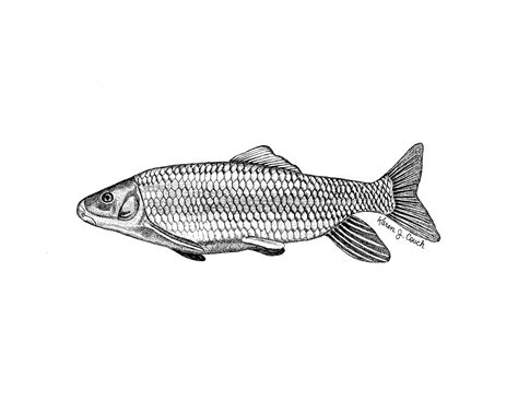 picture illustration robust redhorse fish