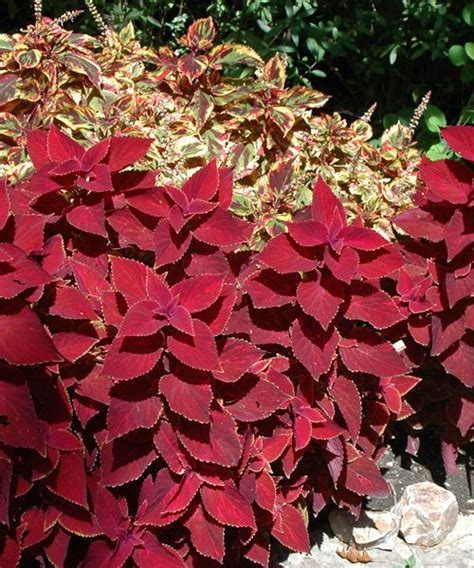 Red Leaf Plants  Wwwimgkidcom  The Image Kid Has It