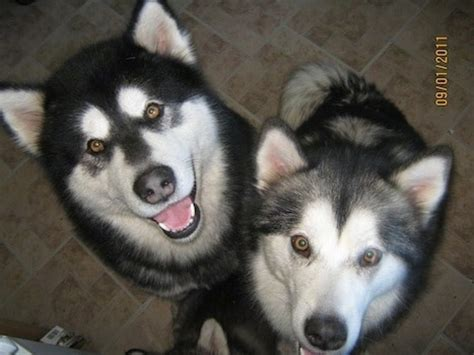 do malamutes shed year alaskan malamute breed information and pictures