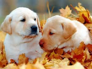 Cute Puppies Fall Leaves