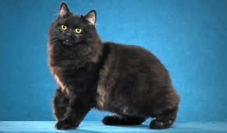 cymric cat cymric cat breed information