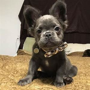 Long haired frenchie! | Blue french bulldog puppies ...