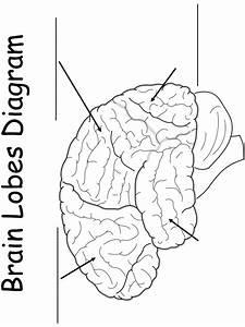 Printable Worksheet  Brain Lobes Diagram