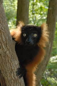 Are Lemurs Endangered Animals