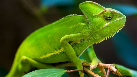 Green Animal Wallpaper - wallpaper chameleon green hd animals 4100